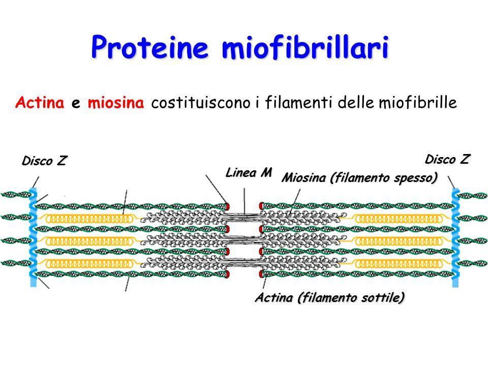Proteine miofibrillari