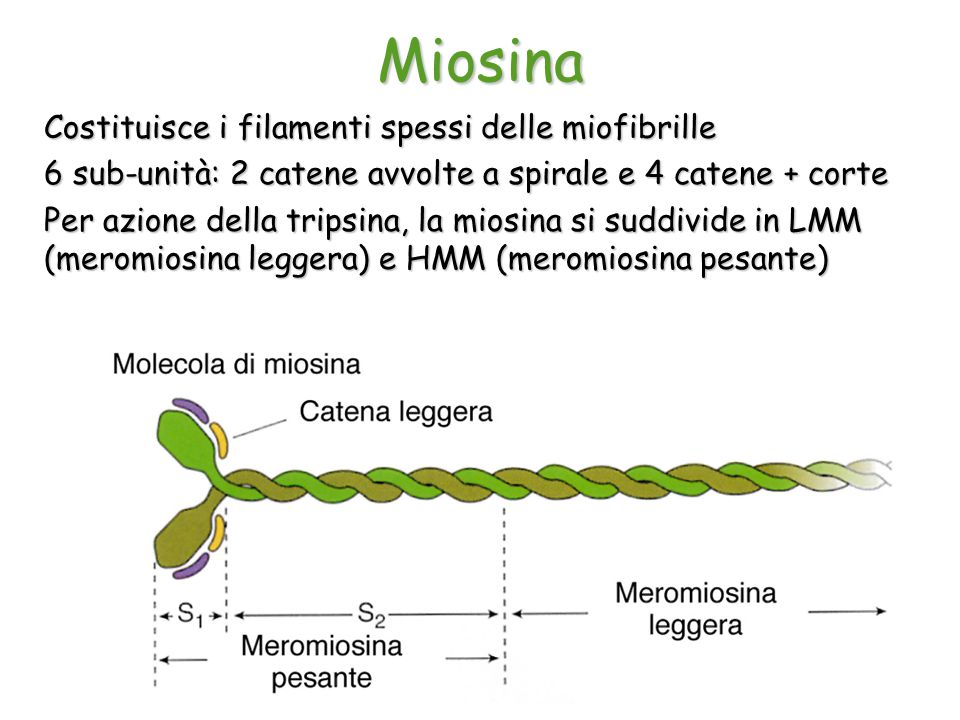 Miosina Costituisce i filamenti spessi delle miofibrille