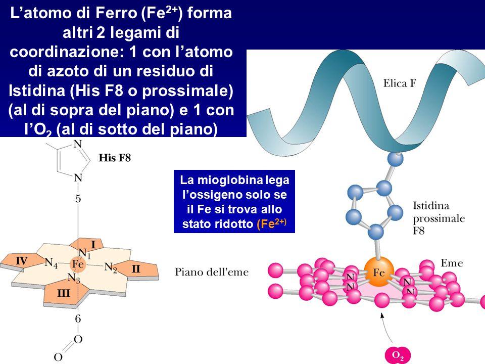 L'atomo di Ferro (Fe2+) forma altri 2 legami di coordinazione: 1 con l'atomo di azoto di un residuo di Istidina (His F8 o prossimale) (al di sopra del piano) e 1 con l'O2 (al di sotto del piano)