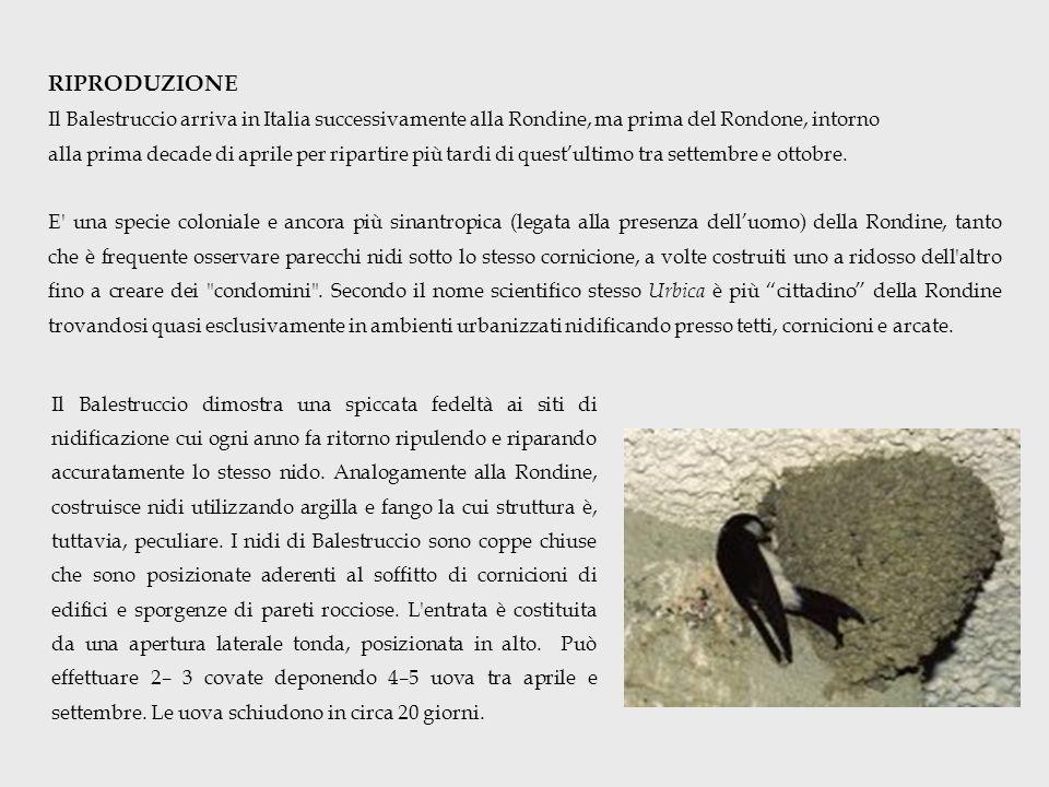 RIPRODUZIONE Il Balestruccio arriva in Italia successivamente alla Rondine, ma prima del Rondone, intorno.