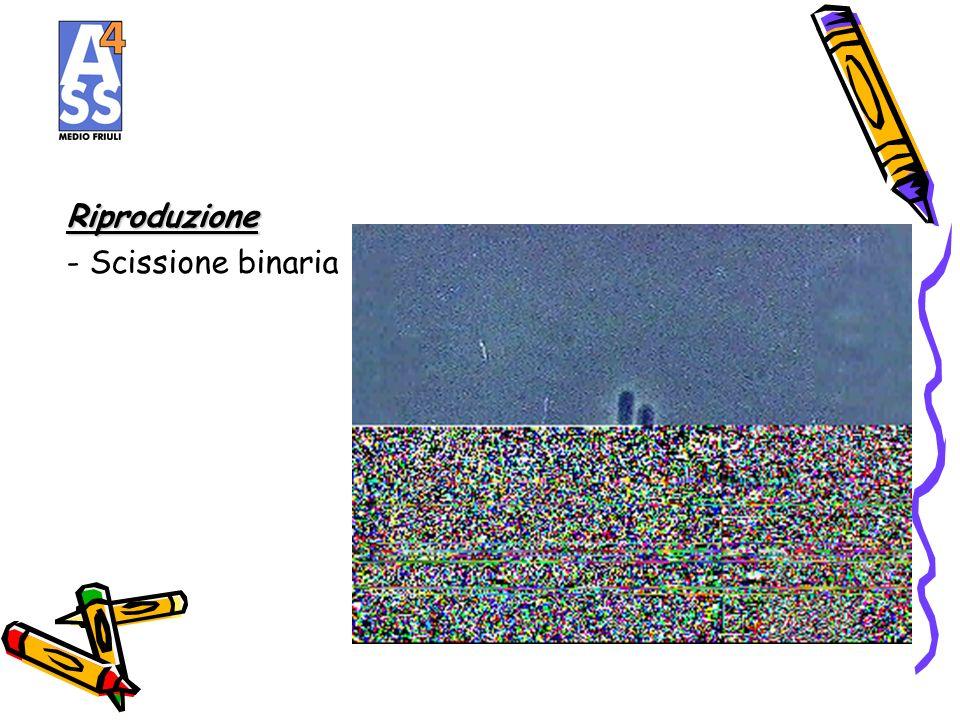 Riproduzione - Scissione binaria