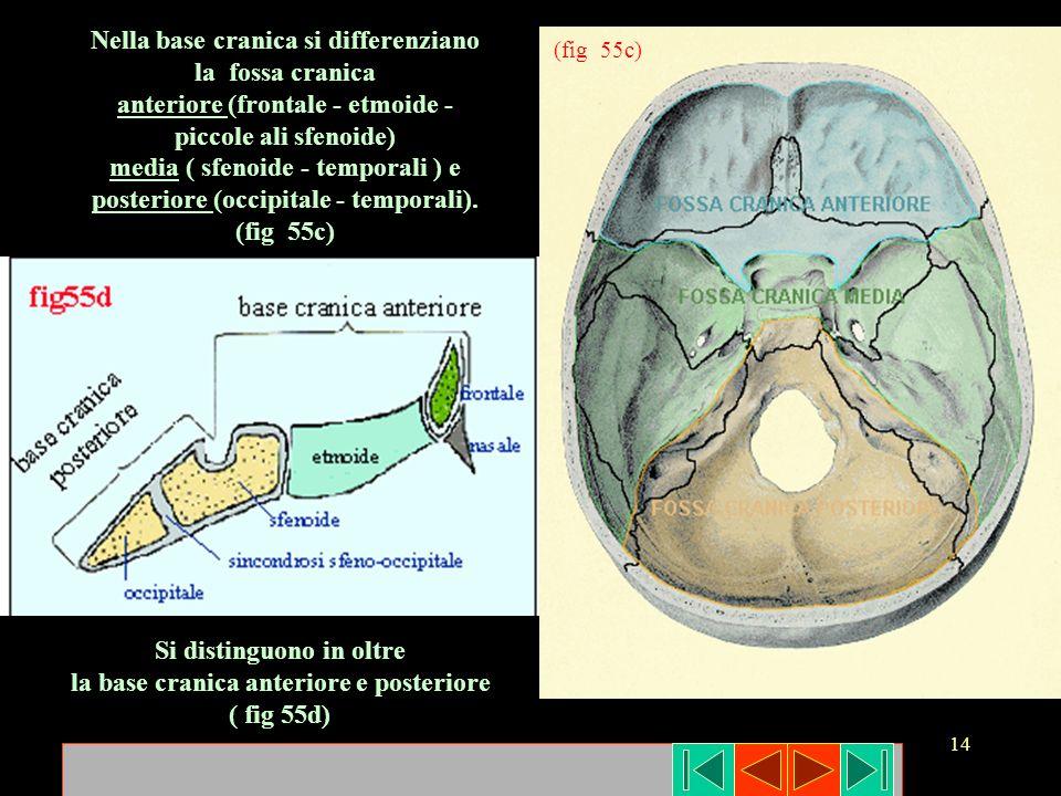 Nella base cranica si differenziano la fossa cranica