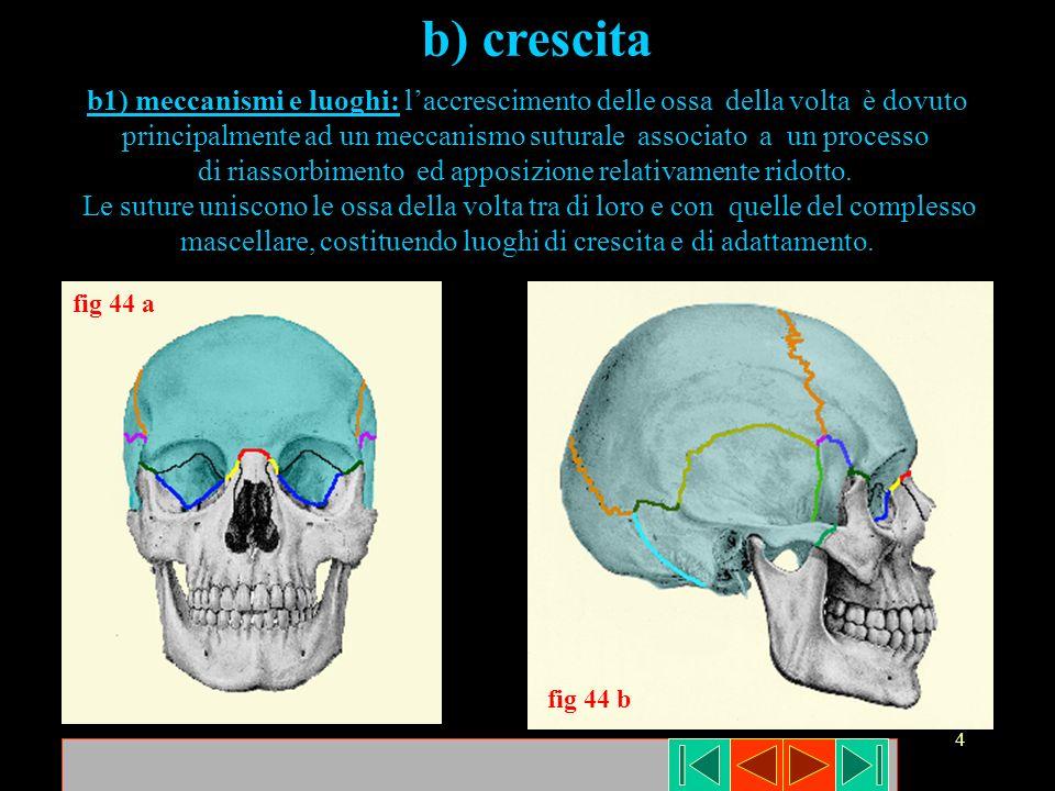 b) crescita b1) meccanismi e luoghi: l'accrescimento delle ossa della volta è dovuto.