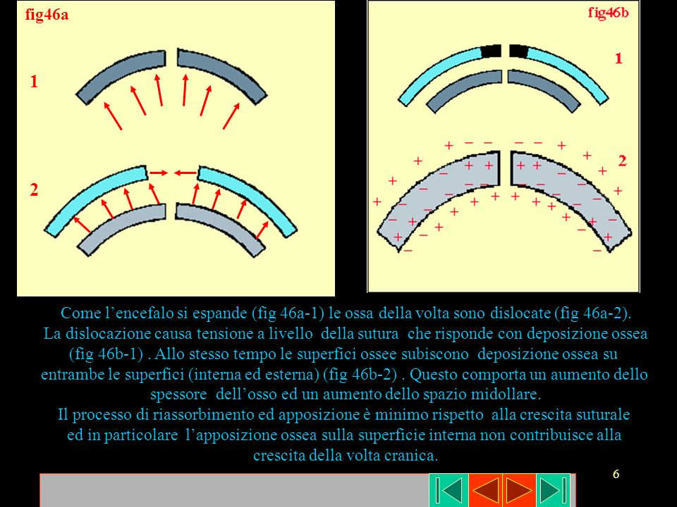 fig46a 1. 2. Come l'encefalo si espande (fig 46a-1) le ossa della volta sono dislocate (fig 46a-2).