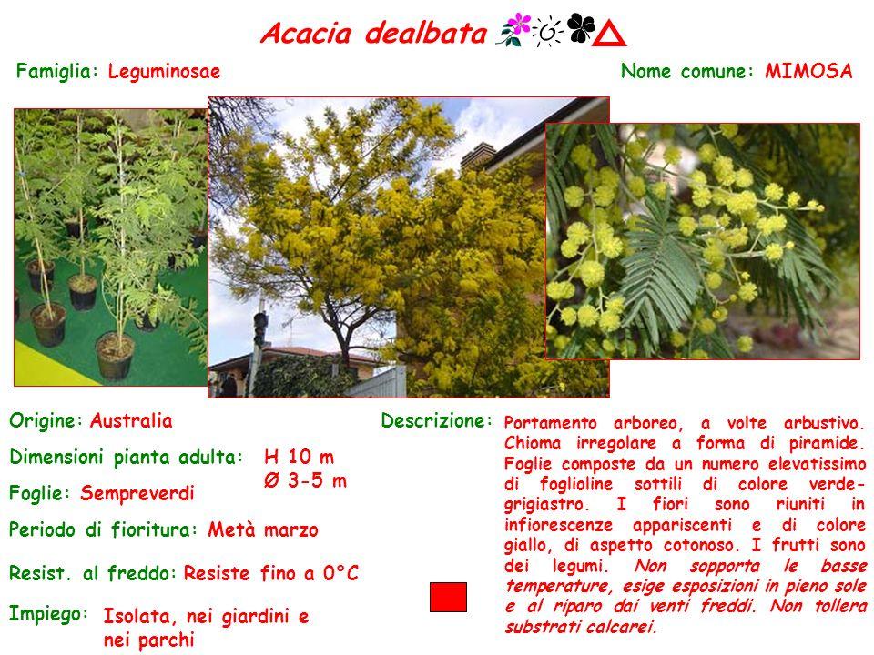 Acacia dealbata Famiglia: Leguminosae Nome comune: MIMOSA Origine:
