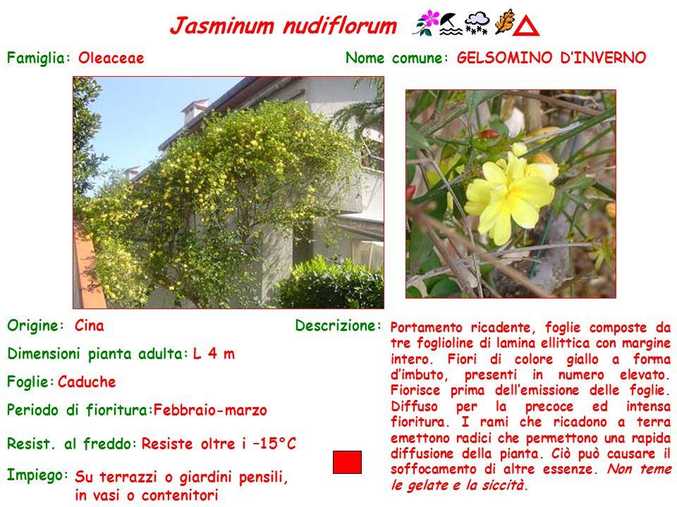 Jasminum nudiflorum Famiglia: Oleaceae