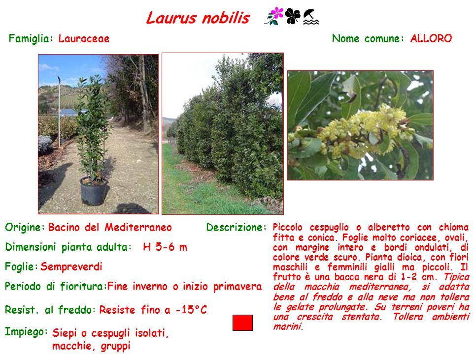 Laurus nobilis Famiglia: Lauraceae Nome comune: ALLORO Origine: