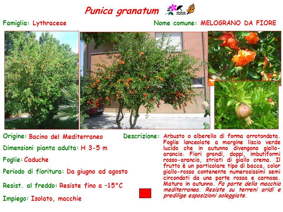 Punica granatum Famiglia: Lythraceae Nome comune: MELOGRANO DA FIORE