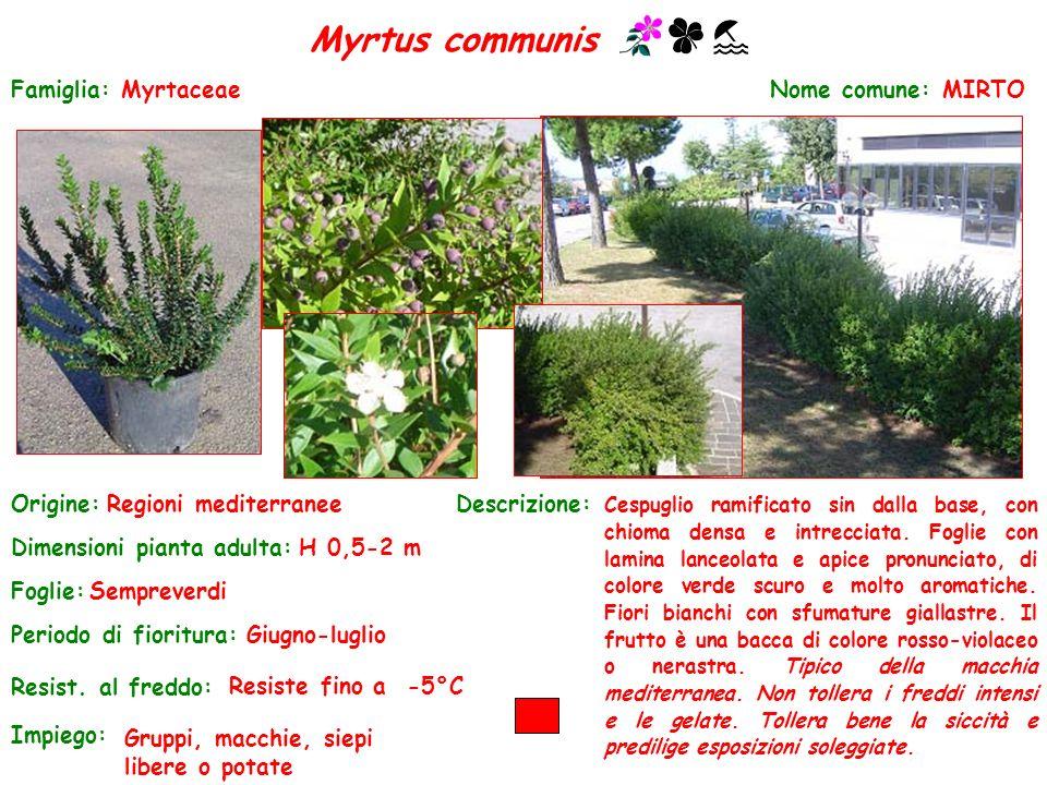 Myrtus communis Famiglia: Myrtaceae Nome comune: MIRTO Origine: