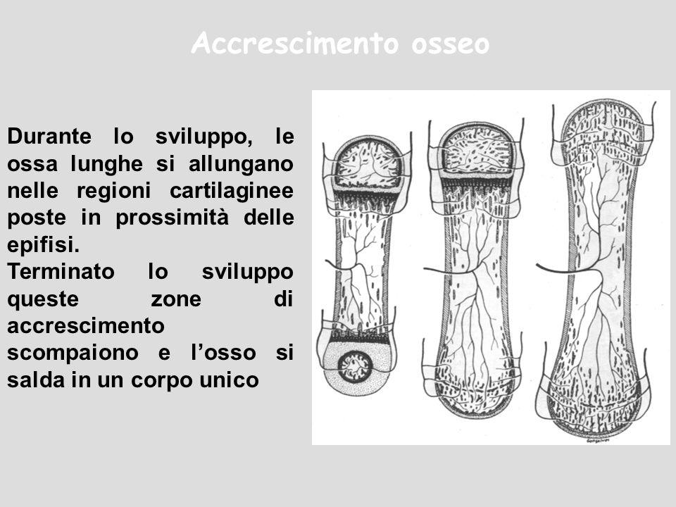 Accrescimento osseo Durante lo sviluppo, le ossa lunghe si allungano nelle regioni cartilaginee poste in prossimità delle epifisi.