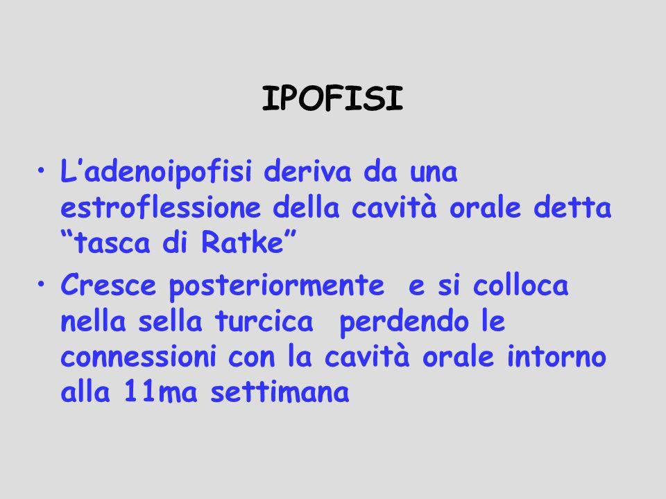 IPOFISI L'adenoipofisi deriva da una estroflessione della cavità orale detta tasca di Ratke
