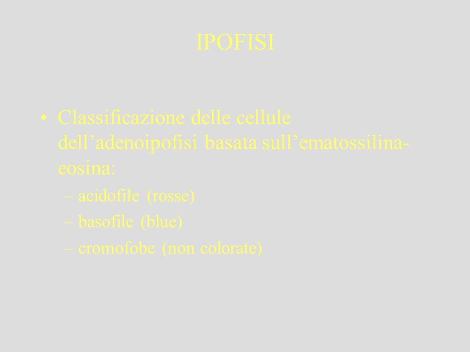 IPOFISI Classificazione delle cellule dell'adenoipofisi basata sull'ematossilina-eosina: acidofile (rosse)