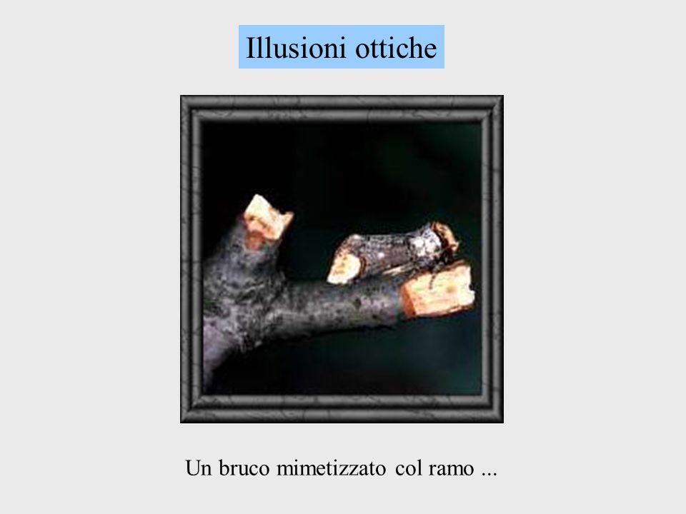 Illusioni ottiche Un bruco mimetizzato col ramo ...