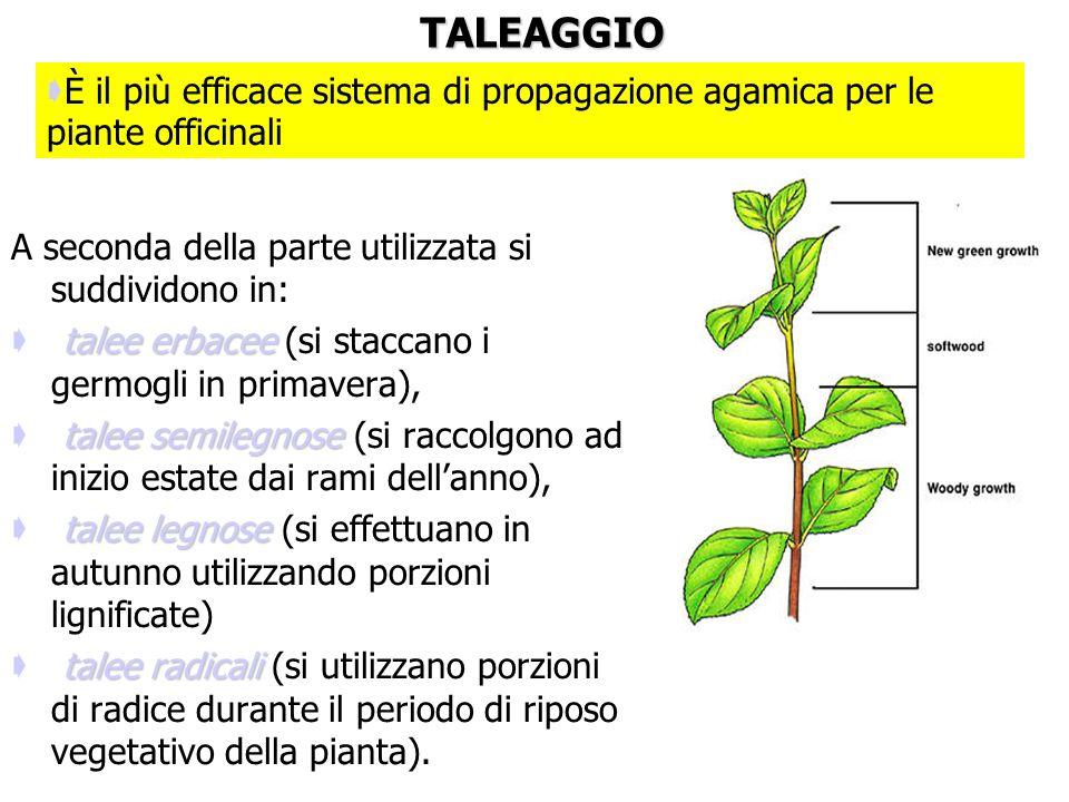 TALEAGGIO È il più efficace sistema di propagazione agamica per le piante officinali. A seconda della parte utilizzata si suddividono in: