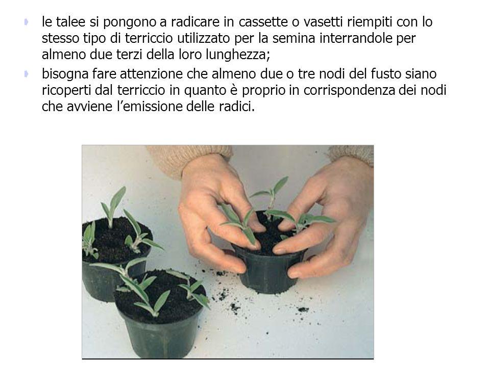 le talee si pongono a radicare in cassette o vasetti riempiti con lo stesso tipo di terriccio utilizzato per la semina interrandole per almeno due terzi della loro lunghezza;