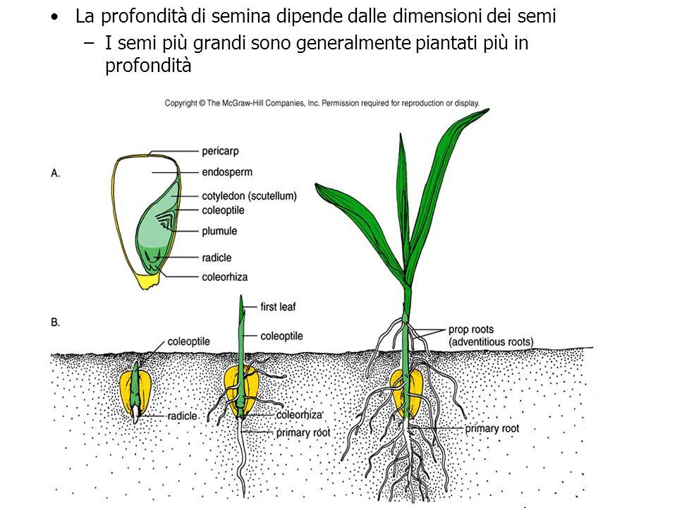 La profondità di semina dipende dalle dimensioni dei semi