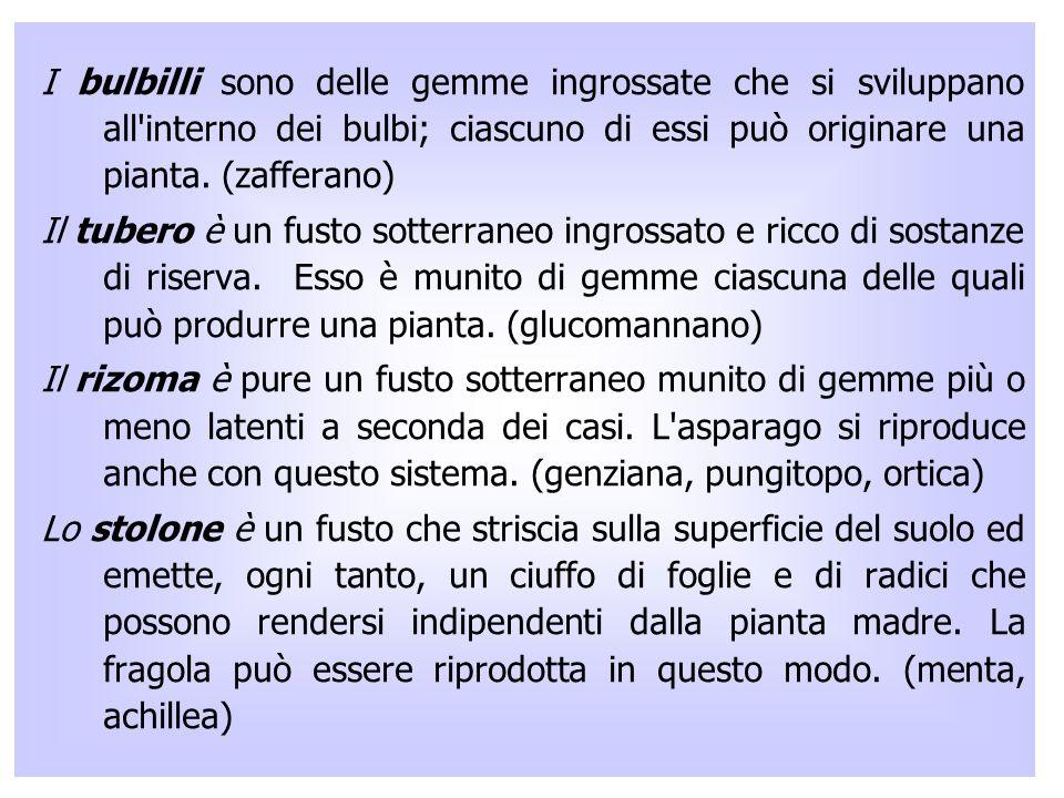 I bulbilli sono delle gemme ingrossate che si sviluppano all interno dei bulbi; ciascuno di essi può originare una pianta. (zafferano)