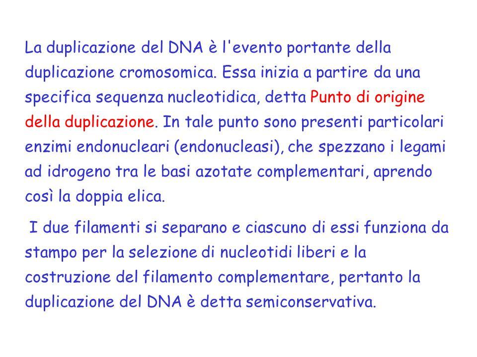 La duplicazione del DNA è l evento portante della duplicazione cromosomica. Essa inizia a partire da una specifica sequenza nucleotidica, detta Punto di origine della duplicazione. In tale punto sono presenti particolari enzimi endonucleari (endonucleasi), che spezzano i legami ad idrogeno tra le basi azotate complementari, aprendo così la doppia elica.
