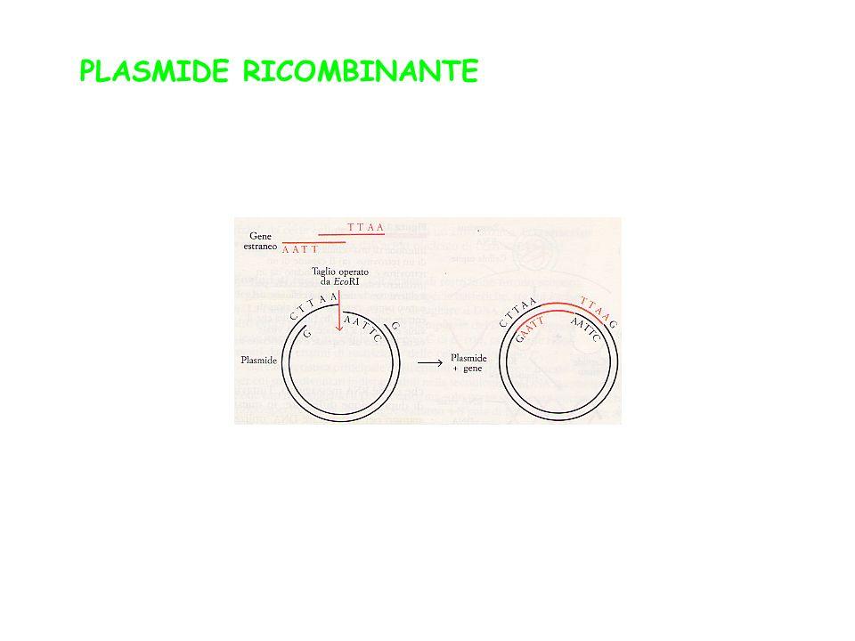 PLASMIDE RICOMBINANTE
