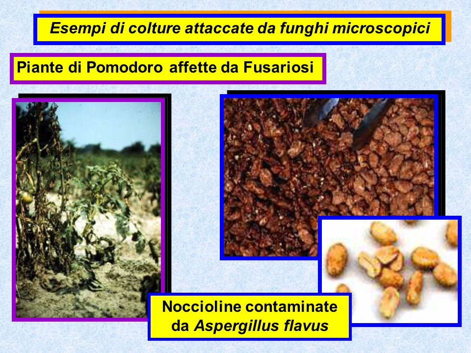 Esempi di colture attaccate da funghi microscopici