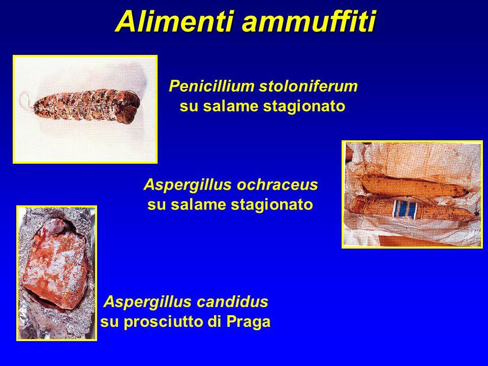 Penicillium stoloniferum Aspergillus ochraceus