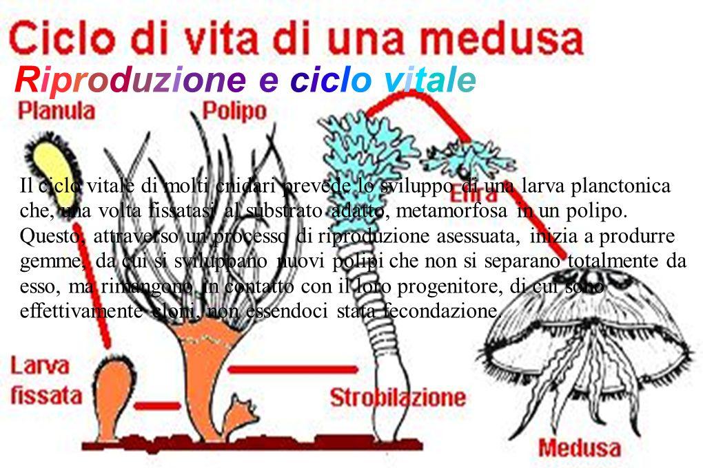 Riproduzione e ciclo vitale