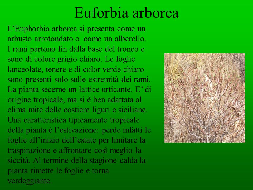Euforbia arborea L'Euphorbia arborea si presenta come un arbusto arrotondato o come un alberello.