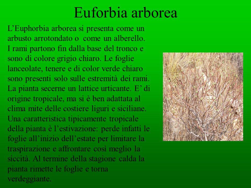 Euforbia arboreaL'Euphorbia arborea si presenta come un arbusto arrotondato o come un alberello.