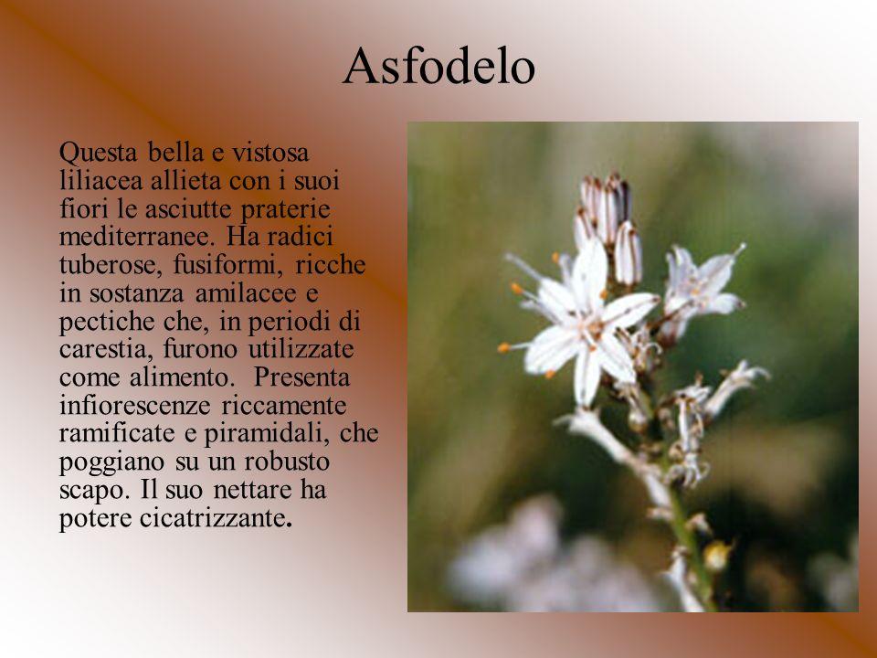 Asfodelo