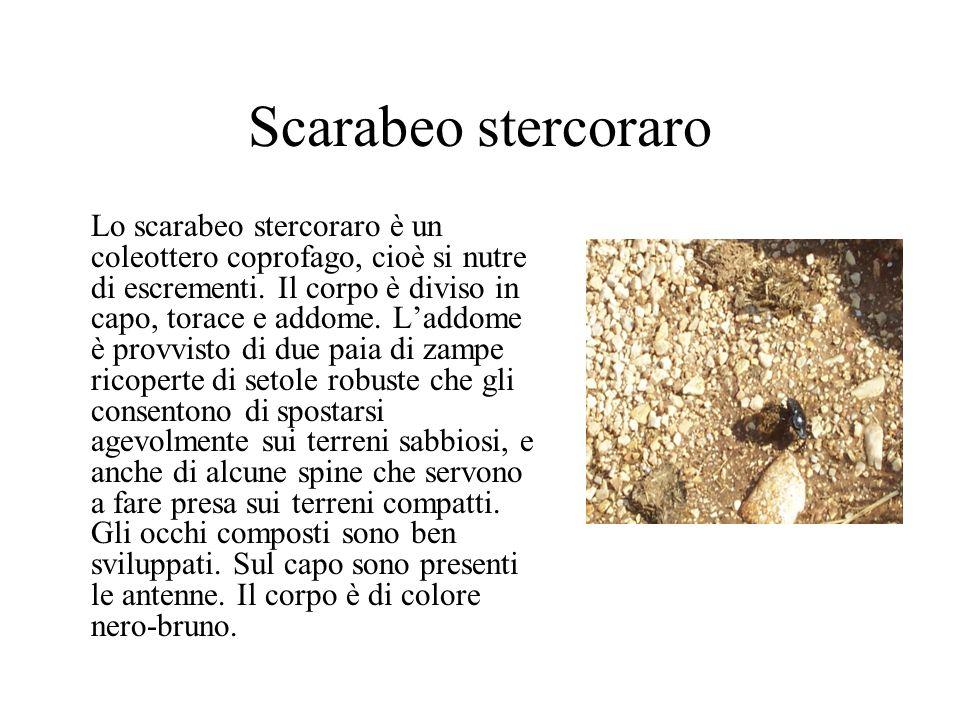 Scarabeo stercoraro