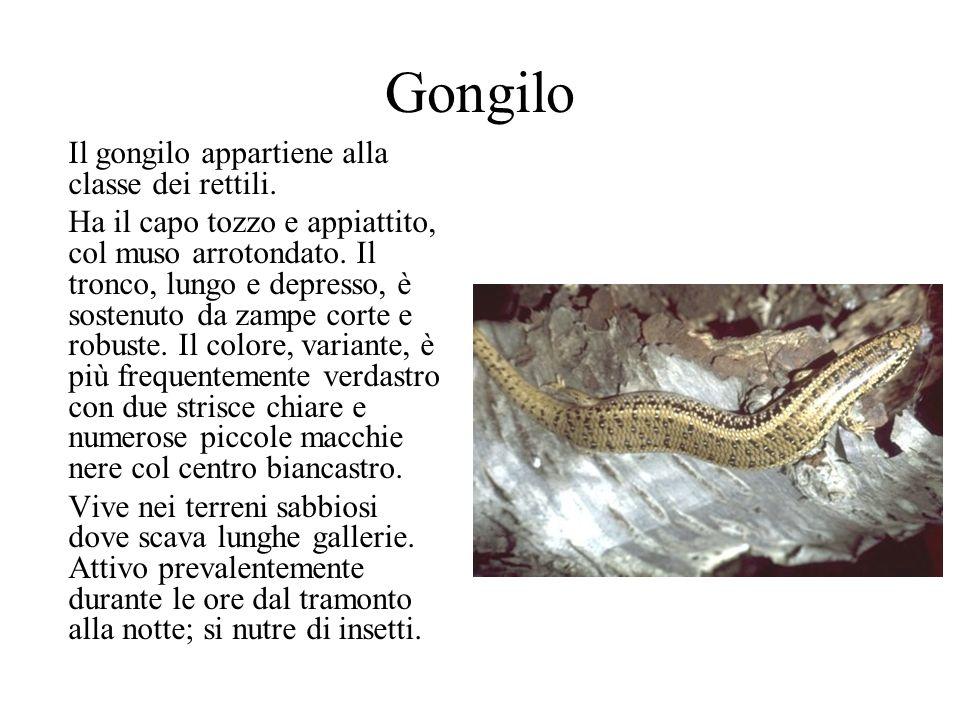 Gongilo Il gongilo appartiene alla classe dei rettili.