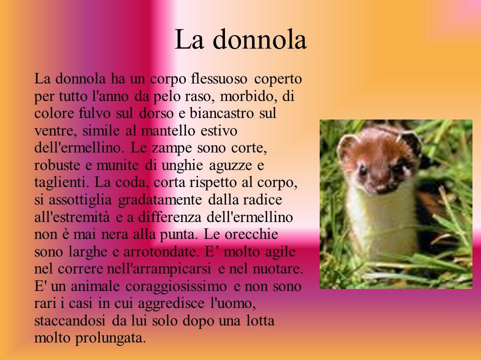 La donnola