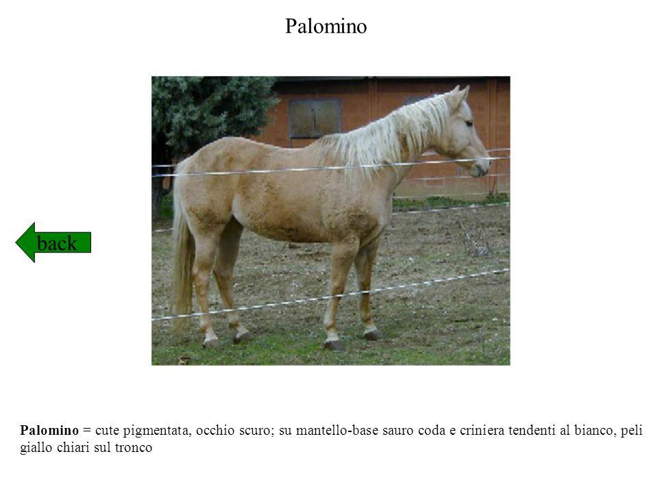 Palomino back.