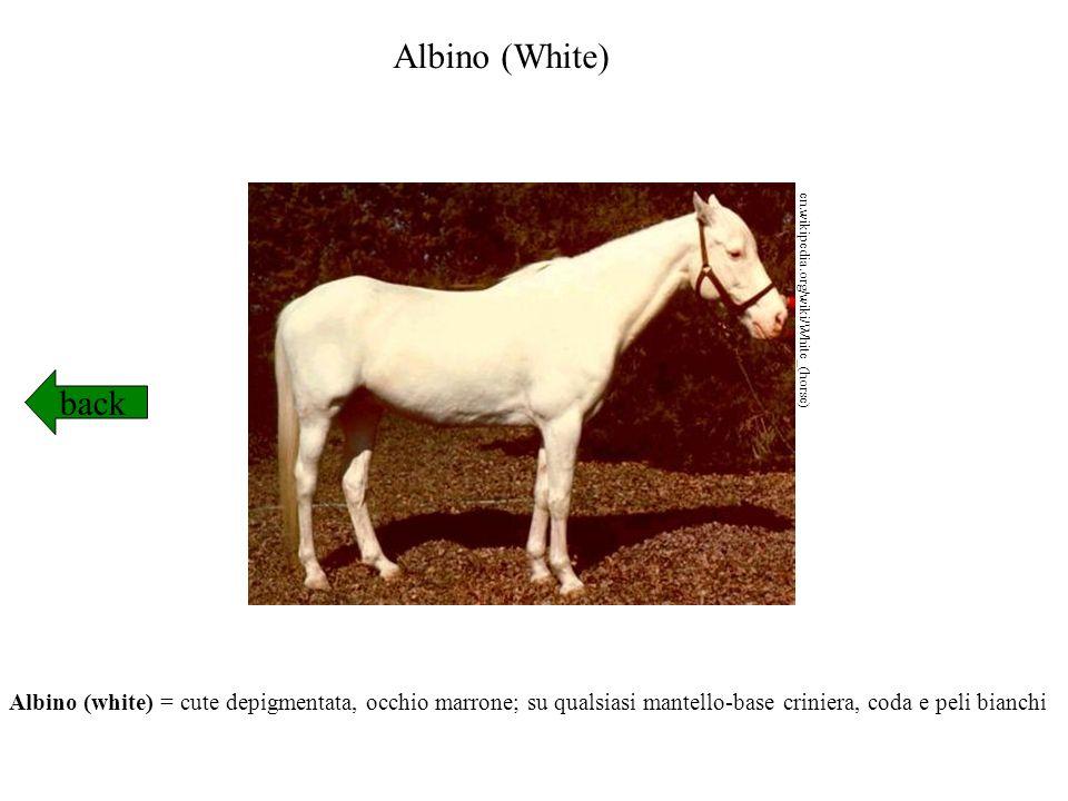Albino (White) en.wikipedia.org/wiki/White_(horse) back.