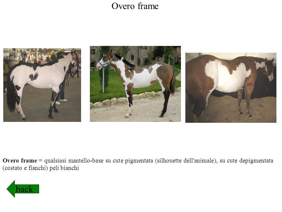 Overo frame Overo frame = qualsiasi mantello-base su cute pigmentata (silhouette dell animale), su cute depigmentata (costato e fianchi) peli bianchi.