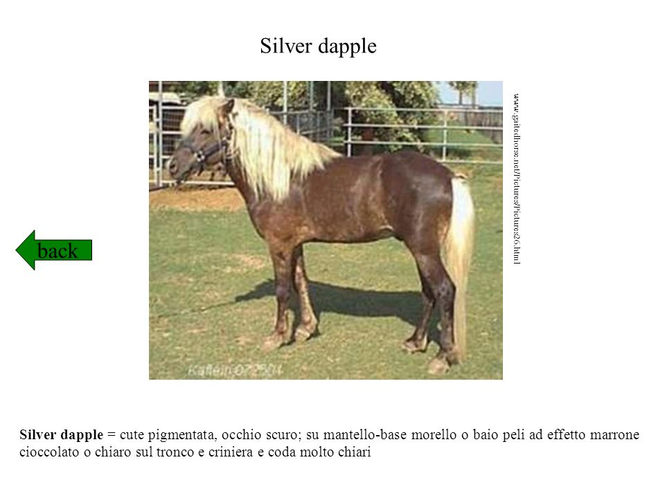 Silver dapple www.gaitedhorse.net/Pictures/Pictures26.html. back.