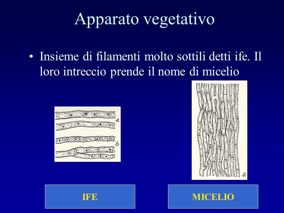 Apparato vegetativo Insieme di filamenti molto sottili detti ife. Il loro intreccio prende il nome di micelio.