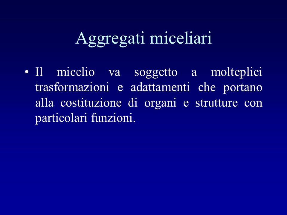 Aggregati miceliari