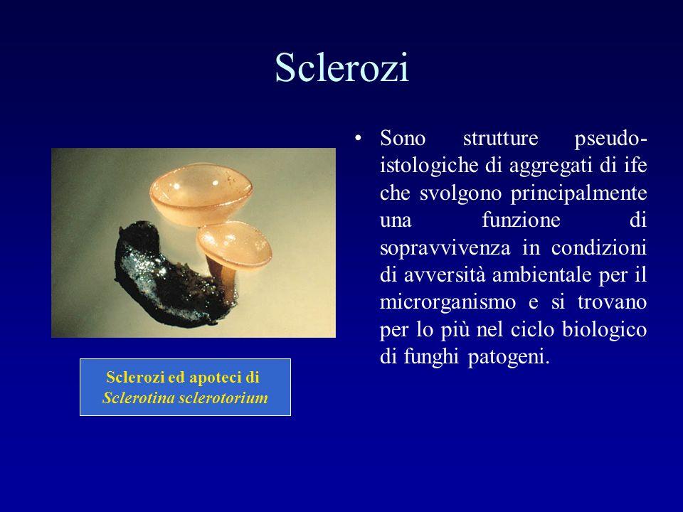 Sclerotina sclerotorium