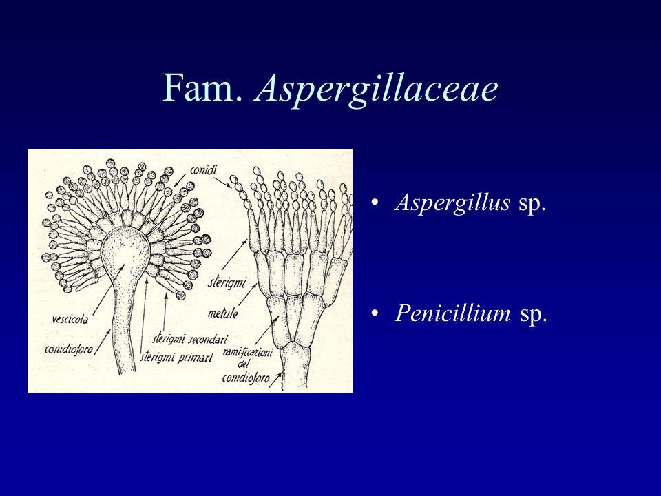 Fam. Aspergillaceae Aspergillus sp. Penicillium sp.