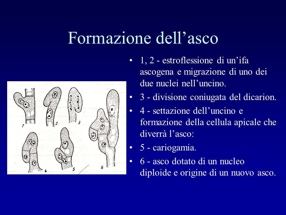 Formazione dell'asco 1, 2 - estroflessione di un'ifa ascogena e migrazione di uno dei due nuclei nell'uncino.