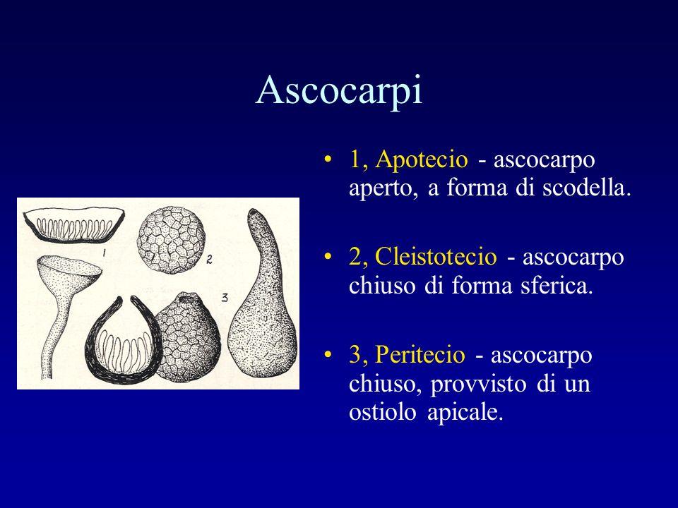 Ascocarpi 1, Apotecio - ascocarpo aperto, a forma di scodella.