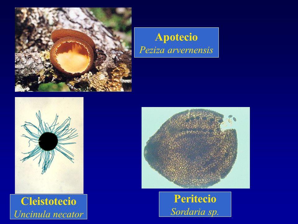 Apotecio Peritecio Cleistotecio Peziza arvernensis Sordaria sp.