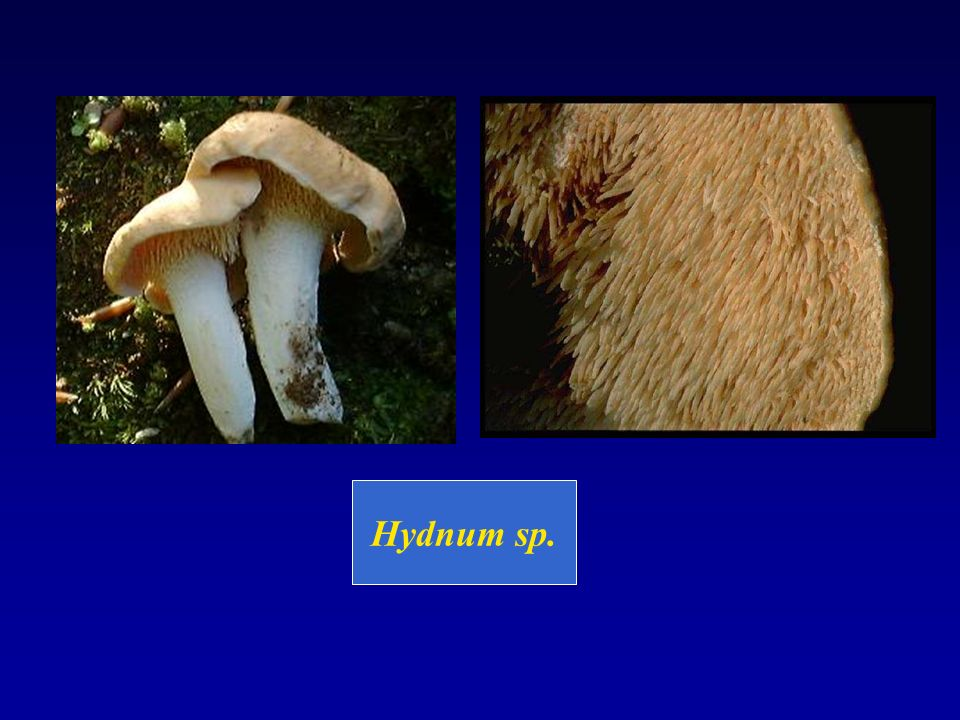 Hydnum sp.
