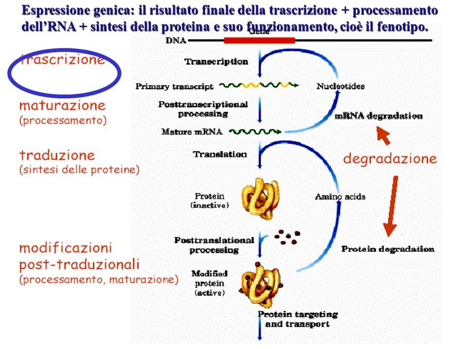 Espressione genica: il risultato finale della trascrizione + processamento dell'RNA + sintesi della proteina e suo funzionamento, cioè il fenotipo.