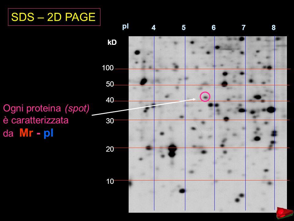 SDS – 2D PAGE Ogni proteina (spot) è caratterizzata da Mr - pI 4 5 6 7
