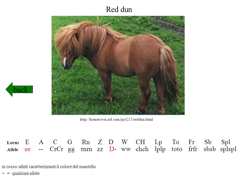 Red dun back - = qualsiasi allele