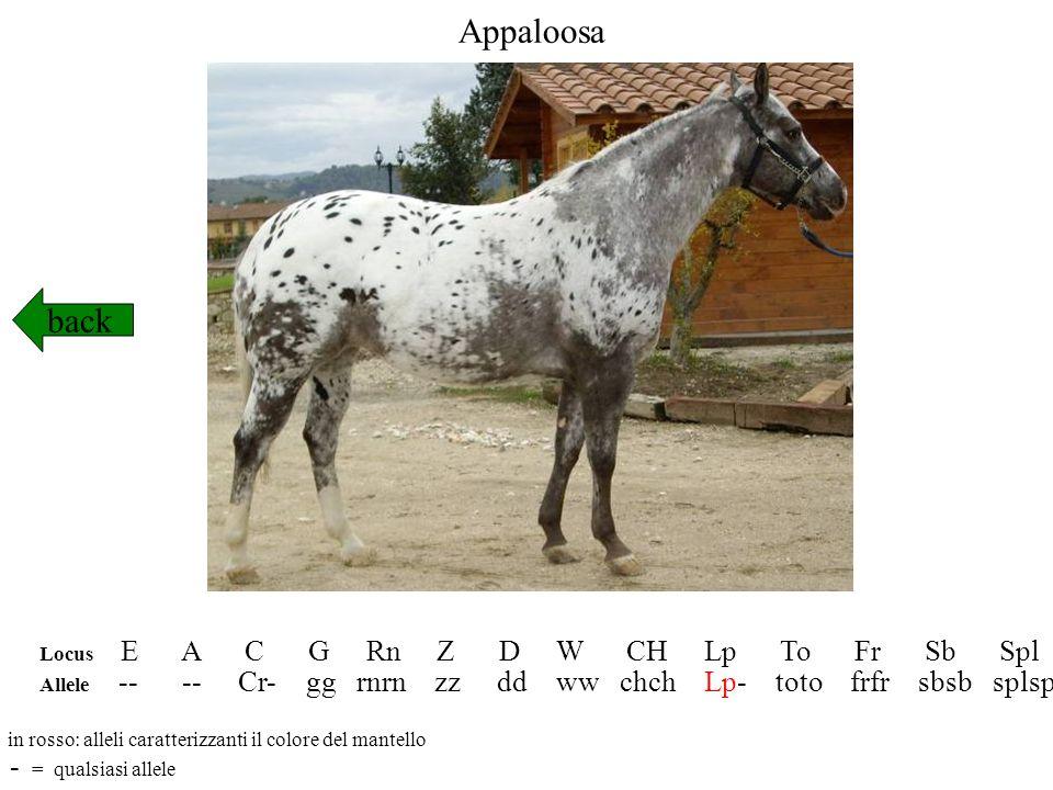 Appaloosa back - = qualsiasi allele