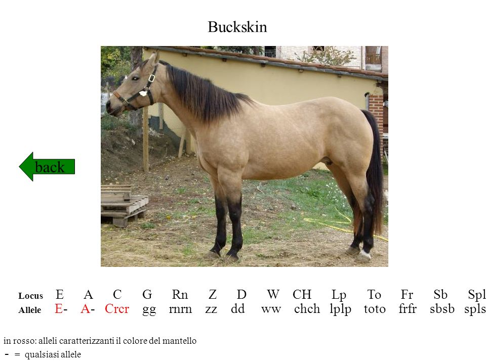 Buckskin back - = qualsiasi allele