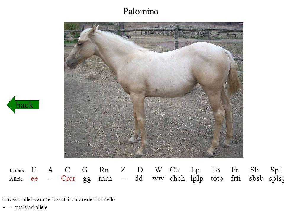 Palomino back - = qualsiasi allele